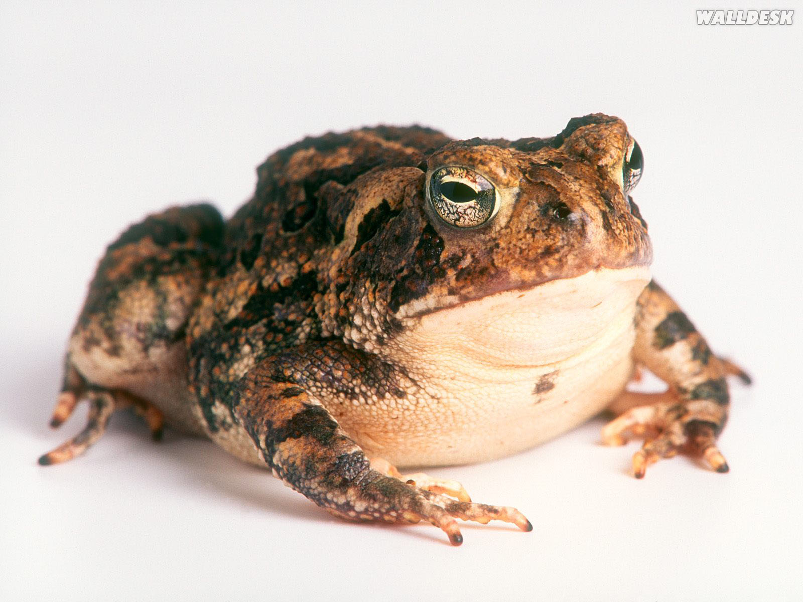 Fowlers Toad wallpaper